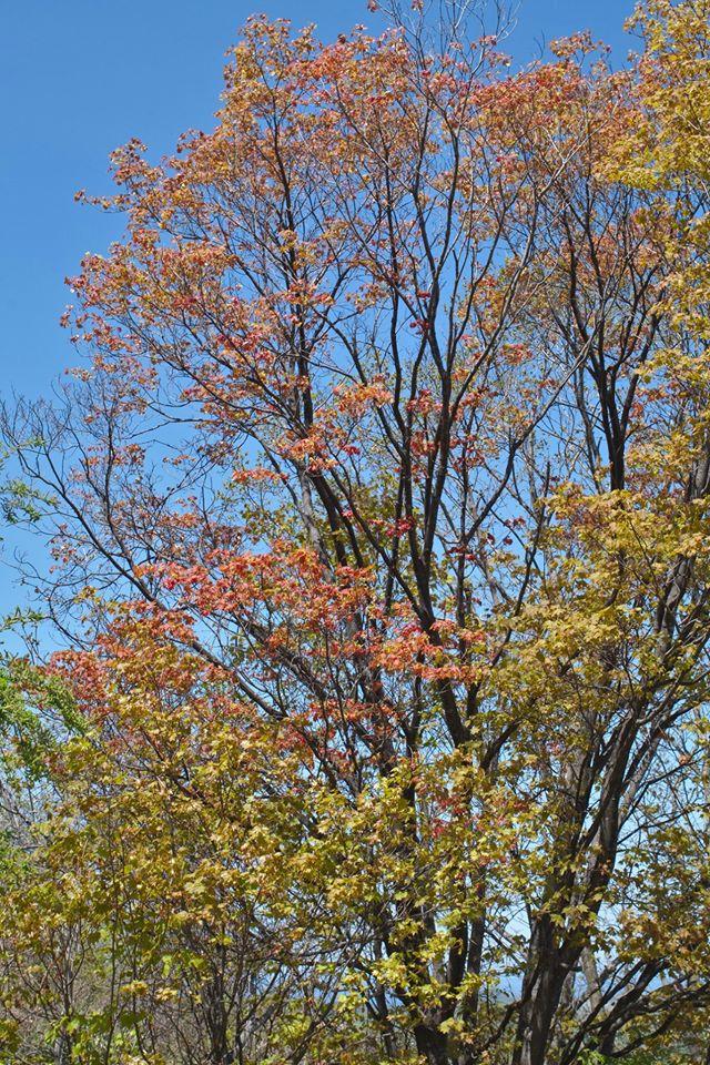 アカイタヤの芽吹き。若葉が赤く、まるで紅葉のように見えます