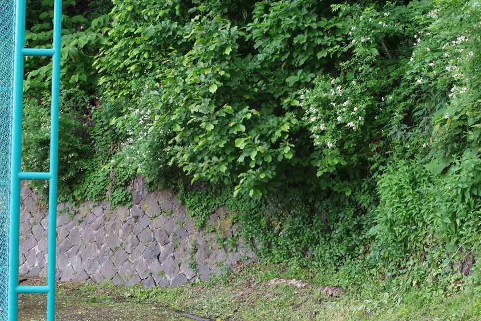 小学校の校庭にある生息地。校舎裏手の斜面に湧水があり、ザリガニが暮らしている