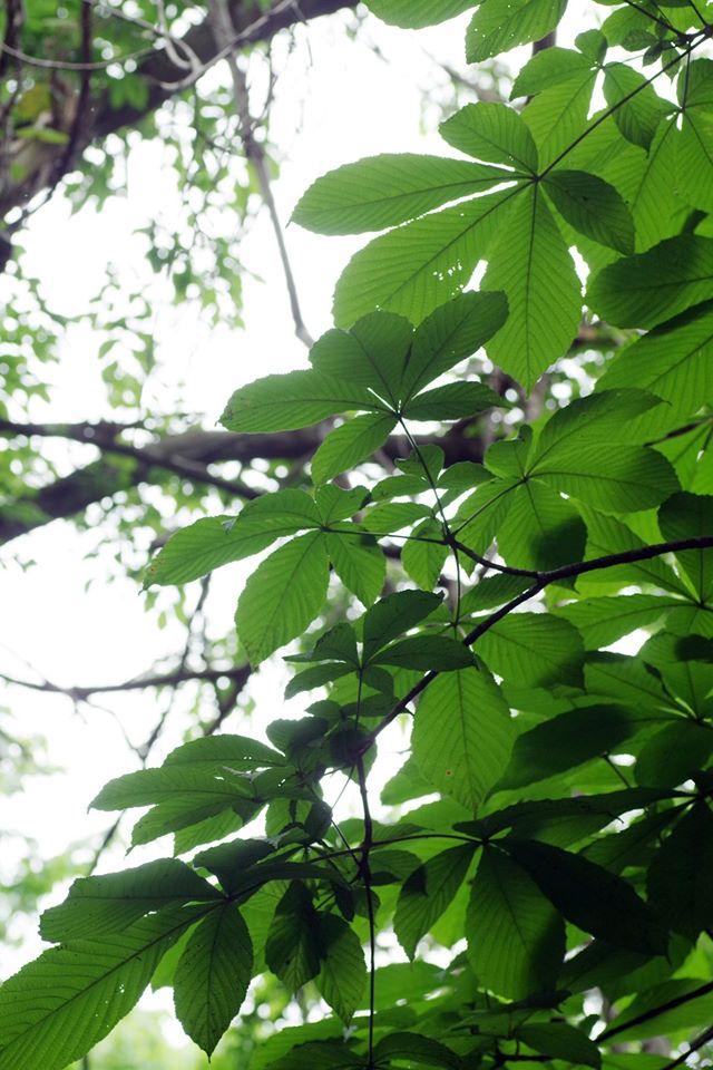 銭函天狗山山麓「北限の」トチノキ。羽団扇のような5枚1組の葉が特徴。絵本「モチモチの木」のに登場する大木はトチノキ。