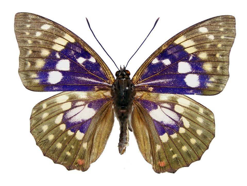 オオムラサキ。東アジア南部を起源とする蝶で、北海道では限られた地域だけに生息する。小樽では1980年代に銭函で生息地が発見された。