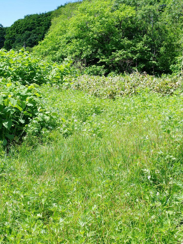 エゾスズの生息地 スゲやヨモギが繁茂し、昆虫の姿が濃い 30年くらい前までは、こんな場所はどこにでもあったはず