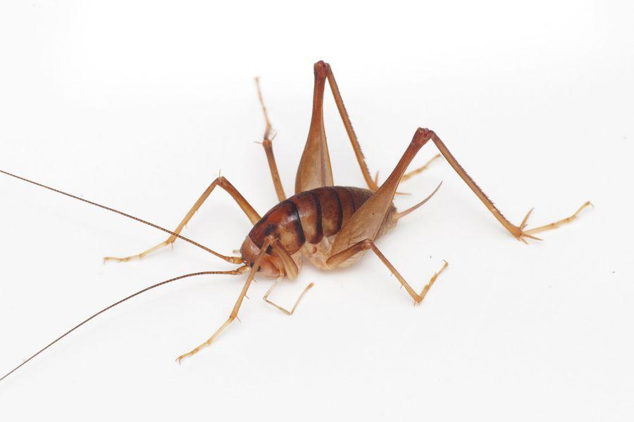 ツヤムネクラズミウマの成虫。 明るい茶色の体色と、焦げ茶色の横縞が特徴です。 焦げ茶色の部分が広がり、全体が暗い色になる個体も時々見られます。 体長は15~18ミリメートル。